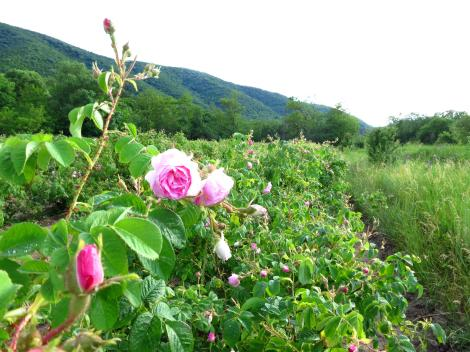 Bulgaria is famous for rose oil.