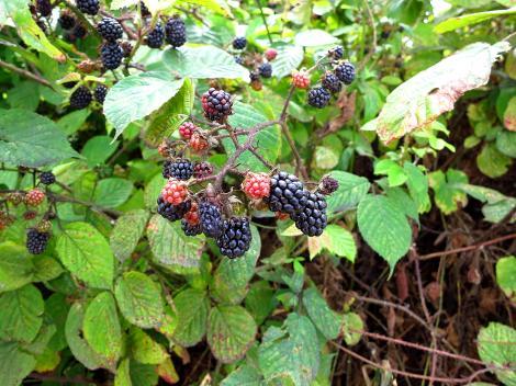 Blackberries are ripening.