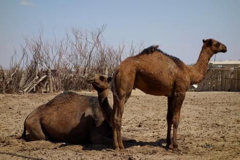 Camels are my new favorite animals. They're pretty comical.